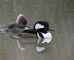 Hooded Merganser - Male & Female