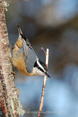 Red-breasted Nuthatch - 2