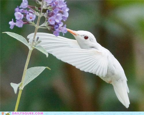 Albino Hummingbird - 2