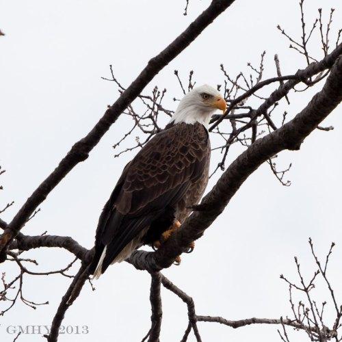 Bald Eagle - 10