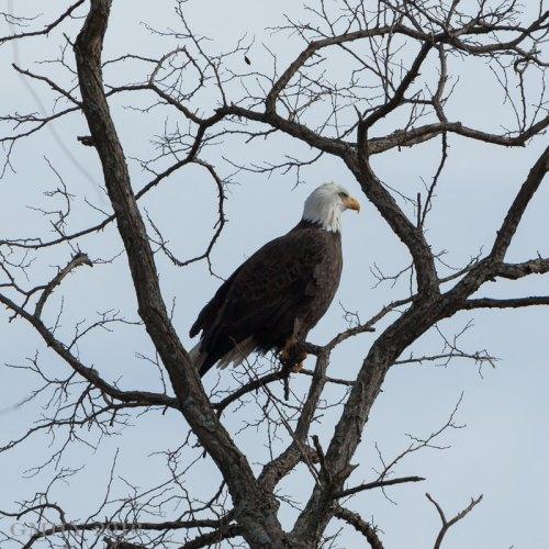 Bald Eagle - 11