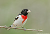 Rose-breased Grosbeak