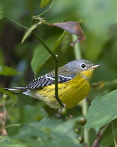 magnolia warbler fall - photo #41