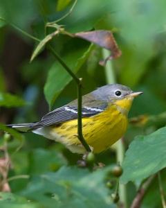 Magnolia Warbler - Fall Plummage