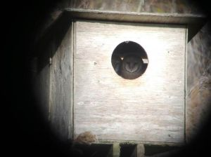 Barn Owl in Nesting Box 1