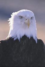 Bald Eagle - 33