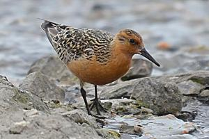 red_knot_3